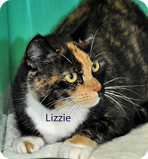 Calico Cat for adoption in West Hartford, Connecticut - Lizzie
