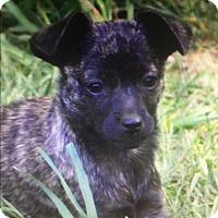 Adopt A Pet :: Pickle - Washington, DC