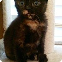 Adopt A Pet :: Juliet CALICO KITTEN - tampa, FL