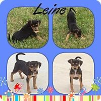 Adopt A Pet :: Leine- Tiny - Genoa City, WI