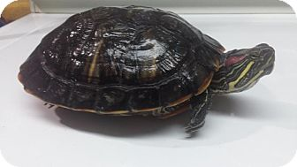 Turtle - Water for adoption in South Bend, Indiana - Gertrude