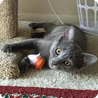Adopt A Pet :: Bleu - San Antonio, TX