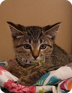 Domestic Shorthair Kitten for adoption in Trevose, Pennsylvania - Echo