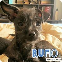 Adopt A Pet :: Rufio - Scottsdale, AZ