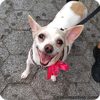 Chihuahua/Fox Terrier (Smooth) Mix Dog for adoption in New York, New York - Lovey!  (aka Camila!)
