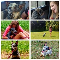 Australian Cattle Dog/Lancashire Heeler Mix Dog for adoption in Hollis, Maine - Joey & Bindi