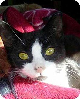 Domestic Shorthair Kitten for adoption in York, Pennsylvania - Betty