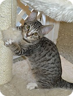 Domestic Shorthair Kitten for adoption in Michigan City, Indiana - Bryant