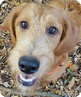 Goldendoodle Mix Puppy for adoption in Alpharetta, Georgia - Molly