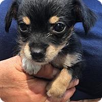 Adopt A Pet :: Zsa Zsa - Fort Atkinson, WI