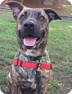 German Shepherd Dog/American Staffordshire Terrier Mix Dog for adoption in Castro Valley, California - Prada