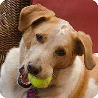 Australian Shepherd/Mastiff Mix Dog for adoption in Deer Lodge, Tennessee - Sunny