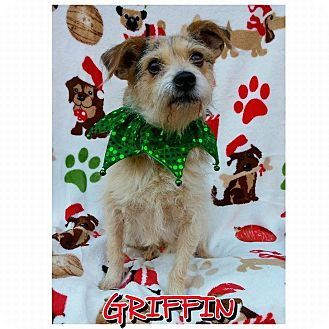 Jack Russell Terrier Dog for adoption in Charlotte, North Carolina - Griffin