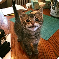 Adopt A Pet :: Squeaks - Chicago, IL