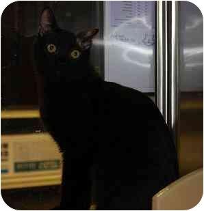 Domestic Shorthair Cat for adoption in Woodstock, Georgia - Phillip