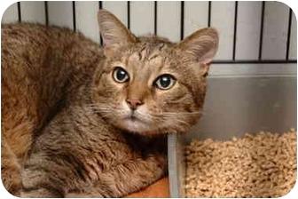 Abyssinian Cat for adoption in Brooklyn, New York - Feon