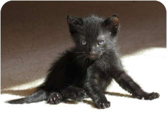 Domestic Shorthair Kitten for adoption in La Jolla, California - Pernod