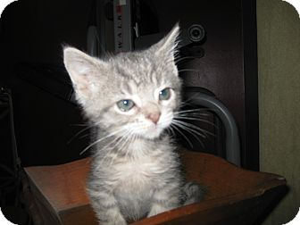 Domestic Shorthair Kitten for adoption in Clearfield, Utah - Tootsie Roll