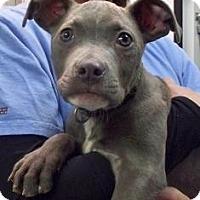 Adopt A Pet :: Roman - WARREN, OH