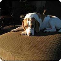 Adopt A Pet :: Scout Master - Phoenix, AZ