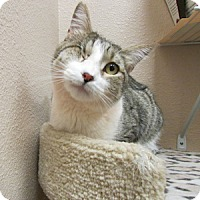 Adopt A Pet :: Norman - Gilbert, AZ