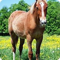 Adopt A Pet :: Pippa - Nicholasville, KY