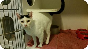 Domestic Shorthair Cat for adoption in Maryville, Tennessee - Penny