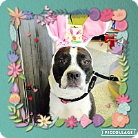 Terrier (Unknown Type, Medium)/Pointer Mix Dog for adoption in Ronkonkoma, New York - Taffy