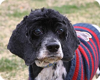 Cocker Spaniel Dog for adoption in Oakland, New Jersey - Sammy