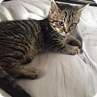 Adopt A Pet :: Tiger - North Haledon, NJ