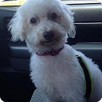 Adopt A Pet :: LAMBORGHINI - Lakewood, CA