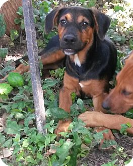 Doberman Pinscher/Black Mouth Cur Mix Puppy for adoption in Leming, Texas - Ruger