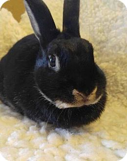 Netherland Dwarf Mix for adoption in Idaho Falls, Idaho - Penny