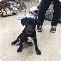 Adopt A Pet :: Papo - Hohenwald, TN