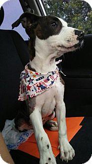 Staffordshire Bull Terrier Mix Dog for adoption in Lawton, Oklahoma - TITUS