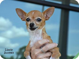 Chihuahua Dog for adoption in Conroe, Texas - Lizzie