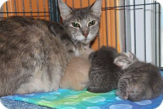 Domestic Shorthair Cat for adoption in New Orleans, Louisiana - Momma 4