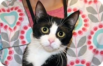 Domestic Shorthair Cat for adoption in Wildomar, California - Merlina