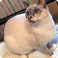 Siamese Cat for adoption in Philadelphia, Pennsylvania - Alpine
