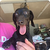 Dachshund Dog for adoption in Blanchard, Oklahoma - Cole