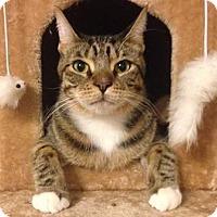 Domestic Shorthair Cat for adoption in Gilbert, Arizona - Simon
