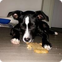 Adopt A Pet :: EMBER GRACE - HAGGERSTOWN, MD