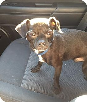 Chihuahua/Pug Mix Dog for adoption in Gainesville, Florida - Deeogie