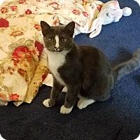 Domestic Shorthair Kitten for adoption in Canton, Ohio - Tom