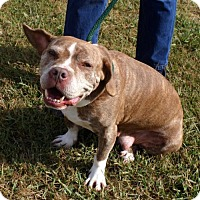American Bulldog/Pit Bull Terrier Mix Dog for adoption in Rowayton, Connecticut - Flower if you go for the funny looking mutts ....