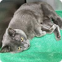 Russian Blue Cat for adoption in Phoenix, Arizona - Lady