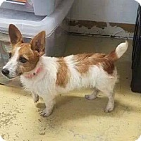 Jack Russell Terrier Dog for adoption in Elgin, Illinois - Annie Warbucks