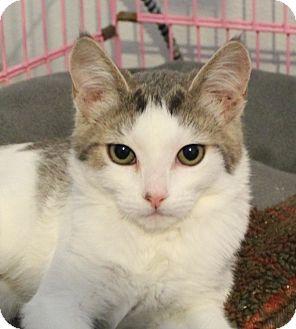 Domestic Shorthair Kitten for adoption in Priest River, Idaho - Breezy