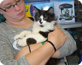 Domestic Longhair Kitten for adoption in Great Mills, Maryland - Patches