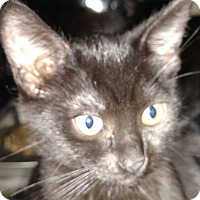 Domestic Shorthair Kitten for adoption in Yuba City, California - Jet